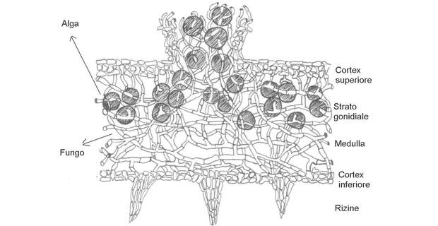 Licheni-bioindicatori-schema