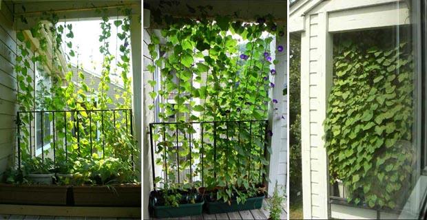 Come costruire una tenda vegetale: cortine fiorite per balconi e ...