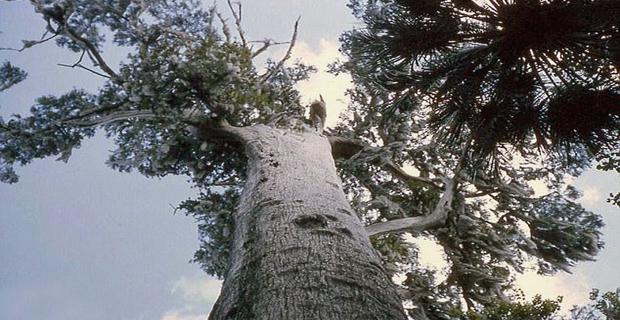 alberi-piu-longevi-q