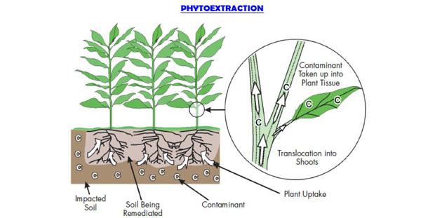 Le piante per la fitodepurazione dei terreni inquinati