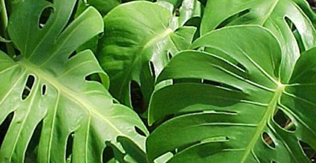 Le piante che incrementano la produttivit nei luoghi di - Pianta da ufficio ...