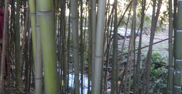 bosco-bambu-bambuseto-b