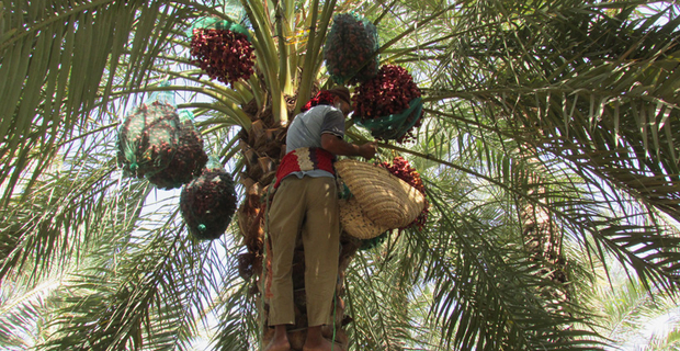 foglie-palma-emirati-c