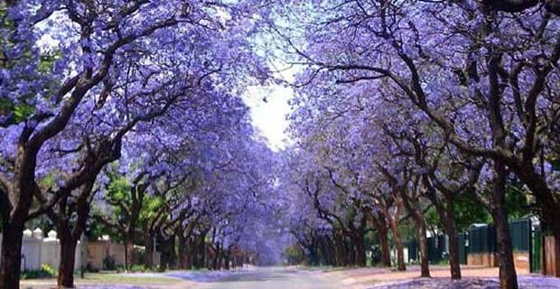 """caption: Fioritura di alberi di jacaranda a Pretoria, in Sudafrica, detta la """"Città della jacaranda"""", per la rilevante presenza di tali alberi."""