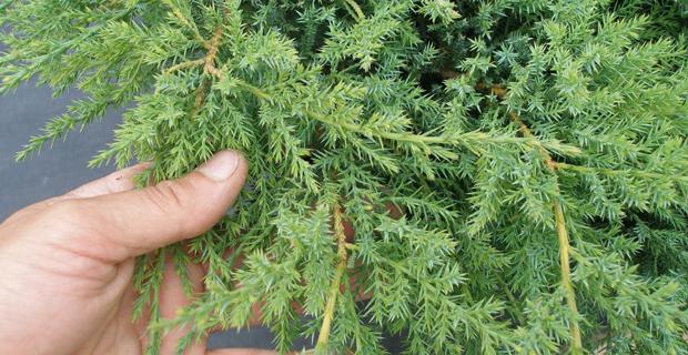 """caption: Juniperus chinensis var. sargentii 'Viridis"""""""