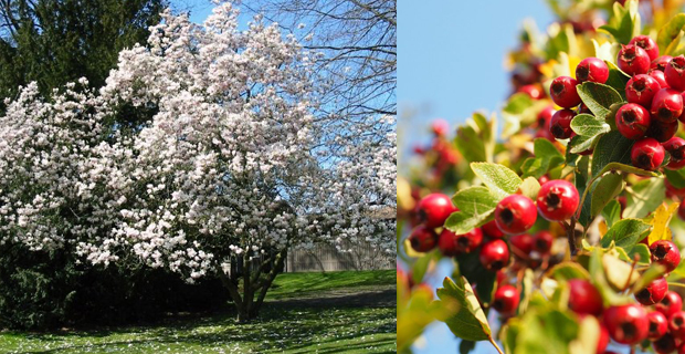Come scegliere gli alberi giusti per piccoli giardini - Alberi giardino piccolo ...